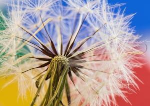 dandelion-stevepb-pixabay